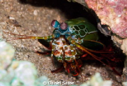 Mantis Shrimp by Daniel Sasse 